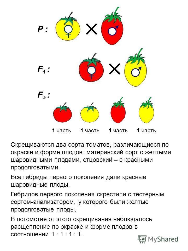 P : F1 :F1 : F а : 1 часть Скрещиваются два сорта томатов, различающиеся по окраске и форме плодов: материнский сорт с желтыми шаровидными плодами, отцовский – с красными продолговатыми. Все гибриды первого поколения дали красные шаровидные плоды. Ги