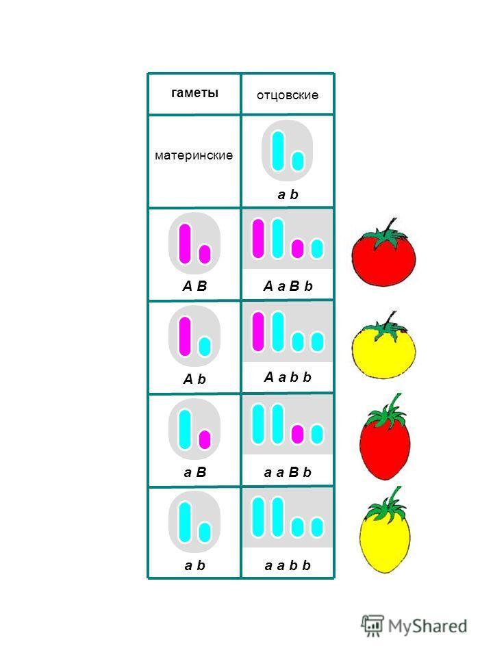 A a B b A a b b a a B b a a b b отцовские гаметы материнские A B A b a B a b