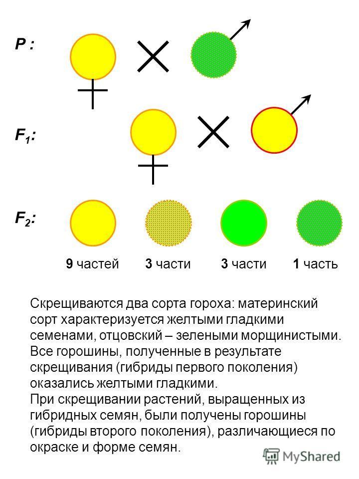 P : F1:F1: F2:F2: 9 частей3 части 1 часть Скрещиваются два сорта гороха: материнский сорт характеризуется желтыми гладкими семенами, отцовский – зелеными морщинистыми. Все горошины, полученные в результате скрещивания (гибриды первого поколения) оказ