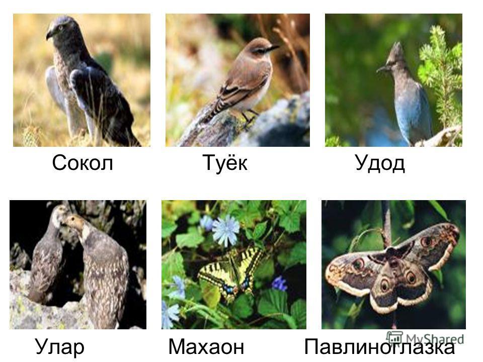 Сокол Туёк Удод Улар Махаон Павлиноглазка