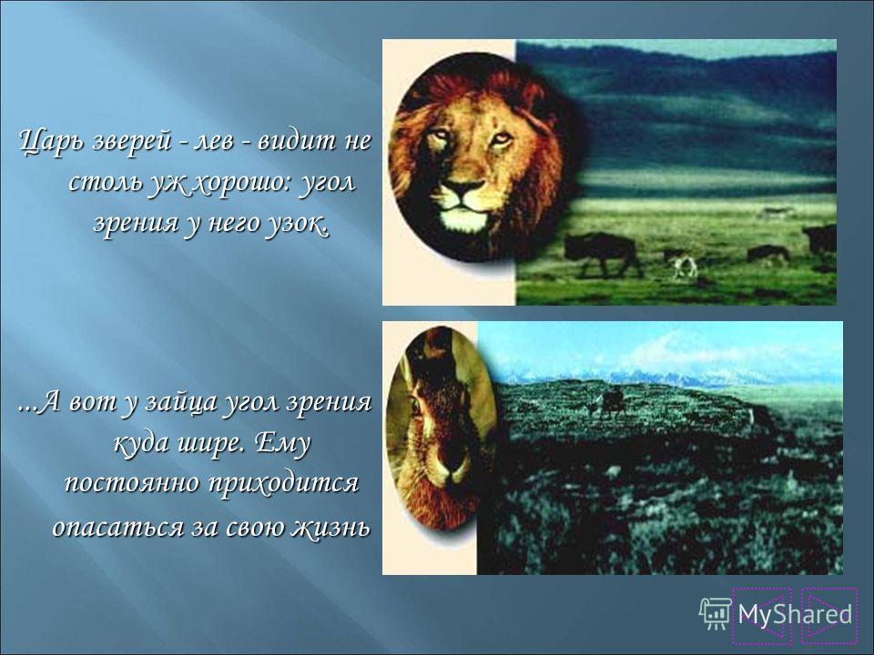 Царь зверей - лев - видит не столь уж хорошо: угол зрения у него узок....А вот у зайца угол зрения куда шире. Ему постоянно приходится опасаться за свою жизнь