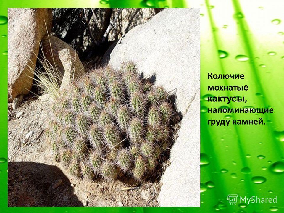 Колючие мохнаты е кактусы, напоминающие груду камней.