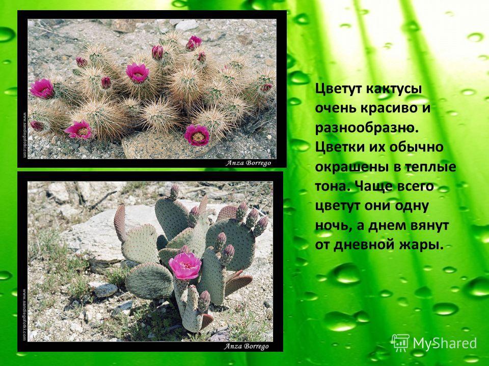 Цветут кактусы очень красиво и разнообразно. Цветки их обычно окрашены в теплые тона. Чаще всего цветут они одну ночь, а днем вянут от дневной жары.