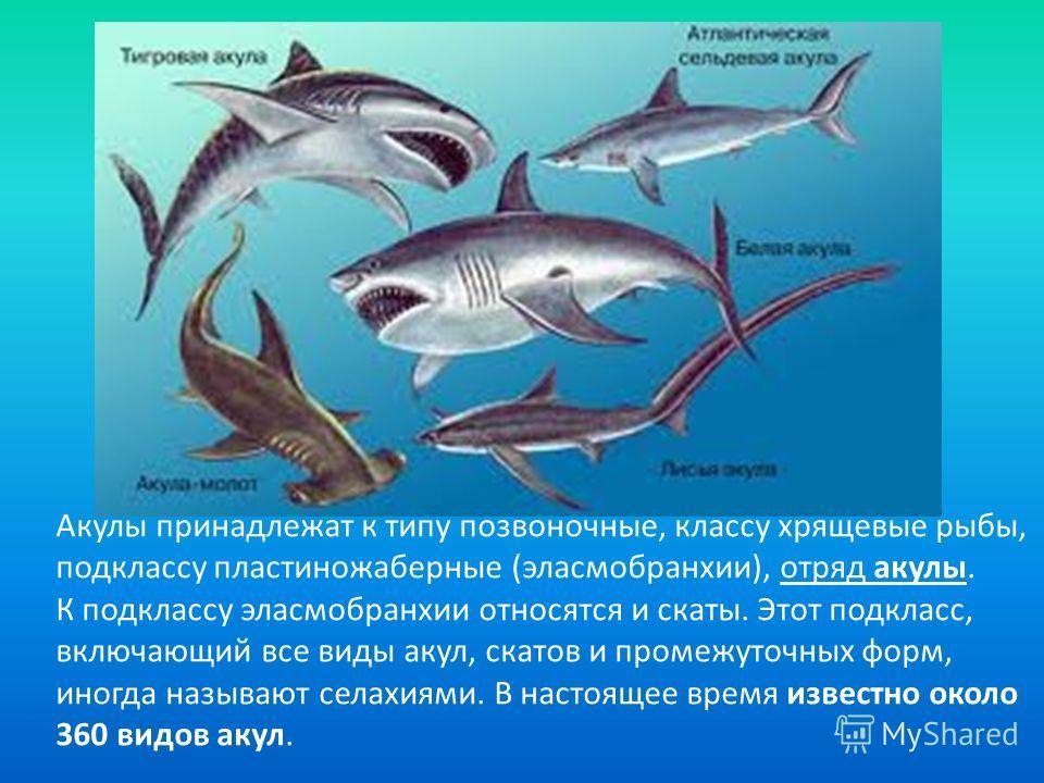 Останки этих существ поражают воображение. Судя по размеру зубов (15 см. в длину и весом 340 г. каждый), найденных в Калифорнии, отдельные особи достигали в длину 36 метров. В пасти такой акулы может, встав в полный рост и вытянув руки в стороны, пом