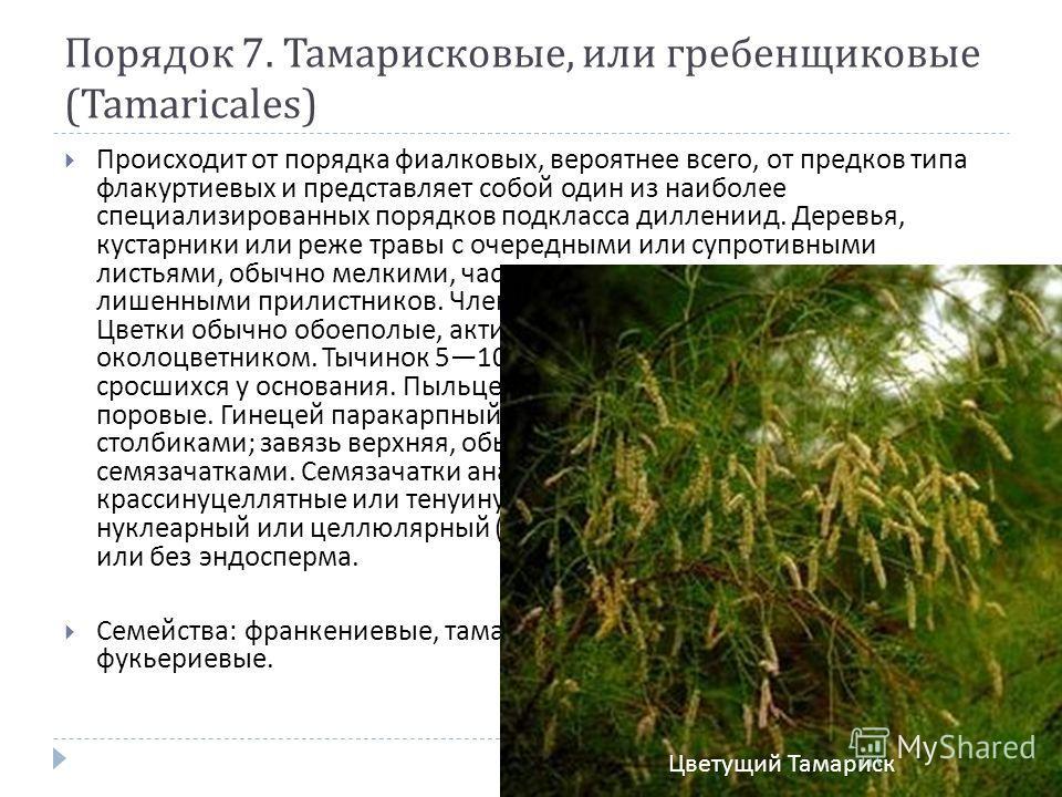 Порядок 7. Тамарисковые, или гребенщиковые (Tamaricales) Происходит от порядка фиалковых, вероятнее всего, от предков типа флакуртиевых и представляет собой один из наиболее специализированных порядков подкласса диллениид. Деревья, кустарники или реж