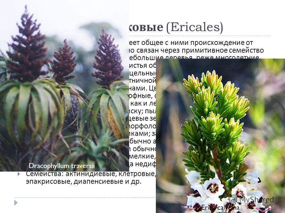 Порядок 9. Вересковые (Ericales) Близок к порядку чайных и имеет общее с ними происхождение от диллениевых, с которыми тесно связан через примитивное семейство актинидиевые. Кустарники и небольшие деревья, реже многолетние травы, иногда сапрофитные.