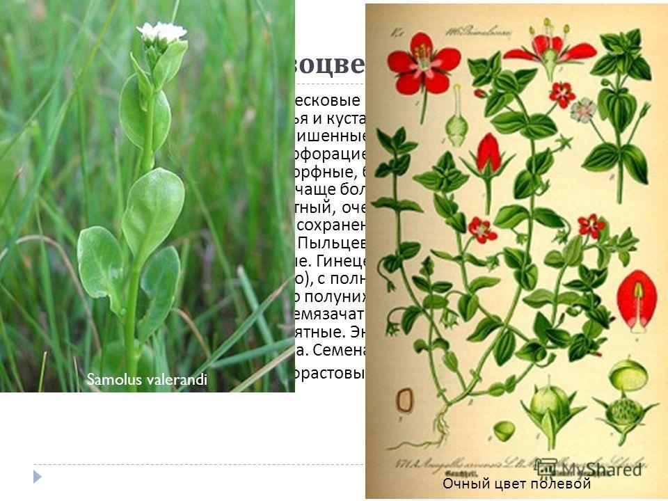 Порядок 11. Первоцветные (Primulales) Стоит близко к порядкам вересковые и эбеновые и имеет общее с ними происхождение. Деревья и кустарники или травы. Листья простые и обычно цельные, лишенные прилистников. Членики сосудов обычно с простой перфораци