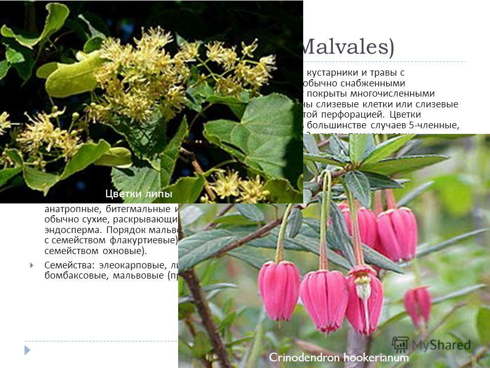 Порядок 12. Мальвовые (Malvales) Происходит, вероятно, от порядка фиалковые. Деревья, кустарники и травы с очередными простыми или реже сложными листьями, обычно снабженными прилистниками. Молодые части растений часто бывают покрыты многочисленными з