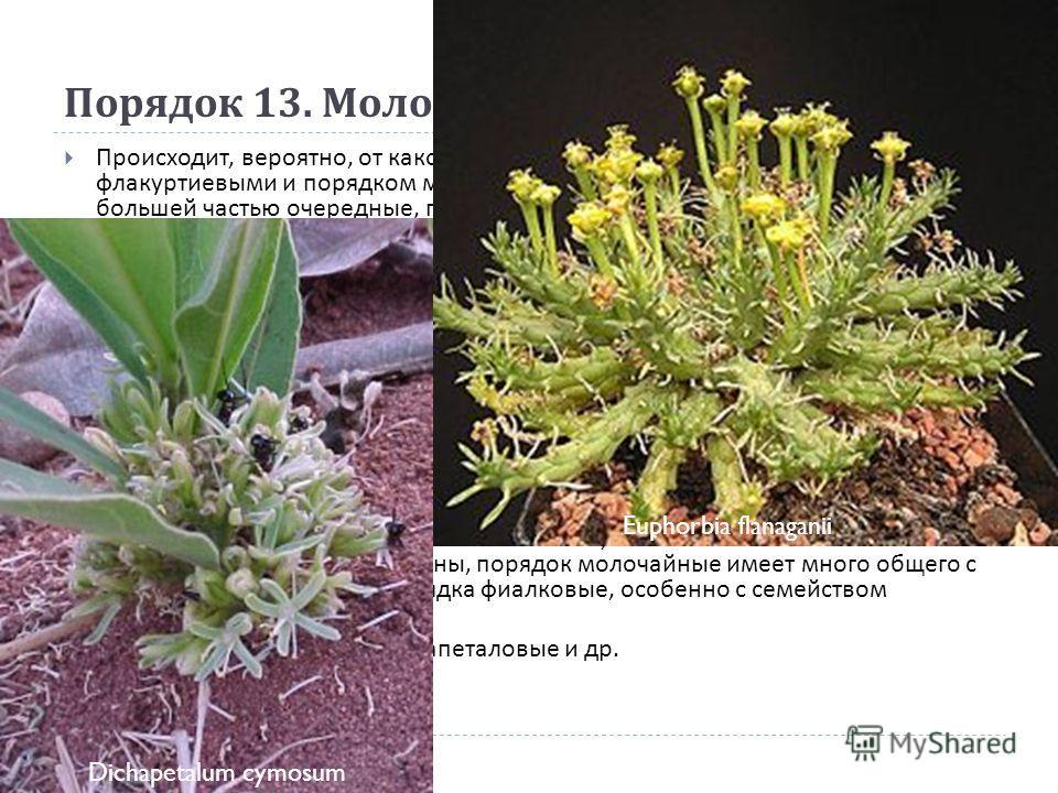 Порядок 13. Молочайные (Euphorbiales) Происходит, вероятно, от какой - то древней группы, промежуточной между флакуртиевыми и порядком мальвовые. Деревья, кустарники и травы. Листья большей частью очередные, простые или сложные, обычно с прилистникам