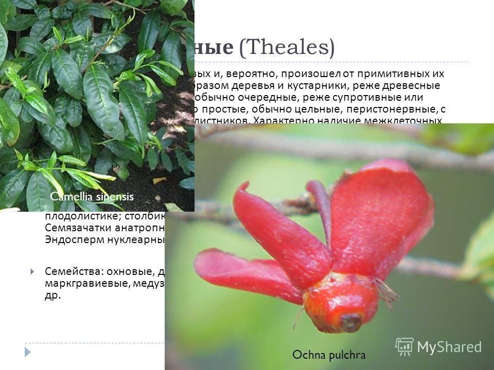 Порядок 3. Чайные (Theales) Близок к порядку диллениевых и, вероятно, произошел от примитивных их представителей. Главным образом деревья и кустарники, реже древесные лианы, редко травы. Листья обычно очередные, реже супротивные или мутовчатые, больш