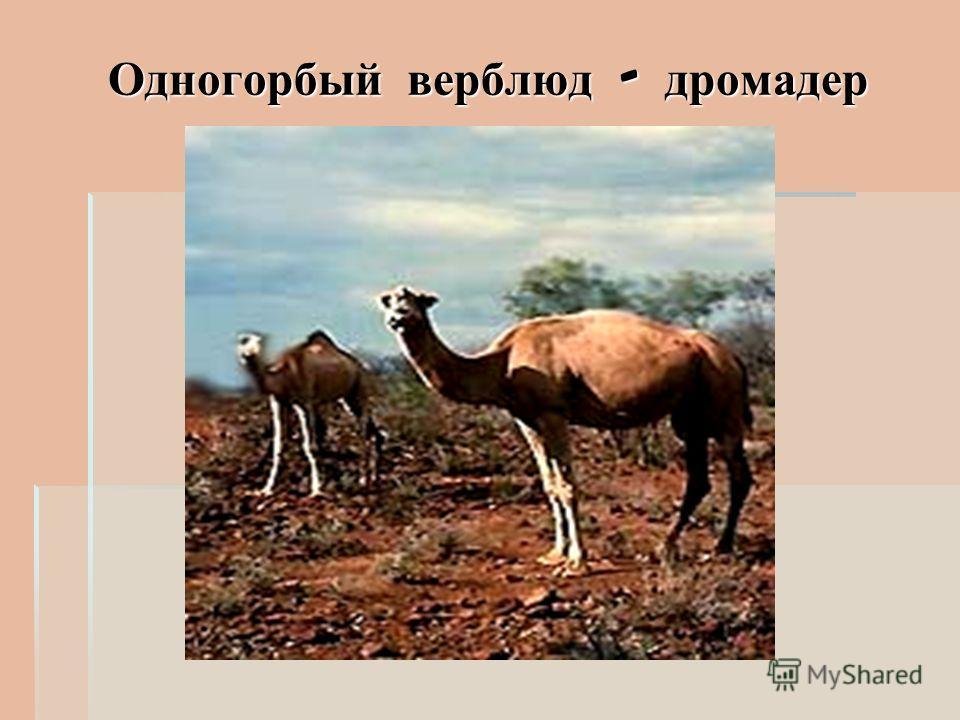 Одногорбый верблюд - дромадер