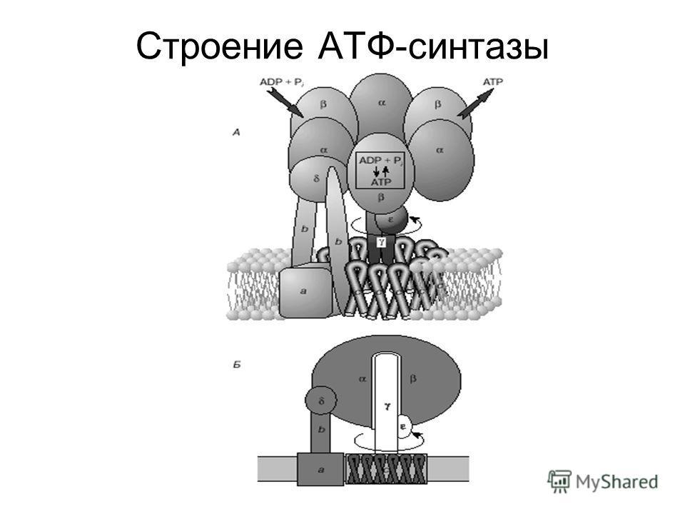 Строение АТФ-синтазы