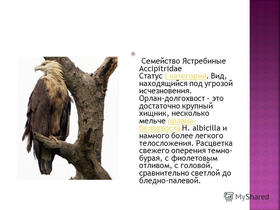 Семейство Ястребиные Accipitridae Статус I категория. Вид, находящийся под угрозой исчезновения. Орлан-долгохвост – это достаточно крупный хищник, несколько мельче орлана- белохвоста Н. albicilla и намного более легкого телосложения. Расцветка свежег