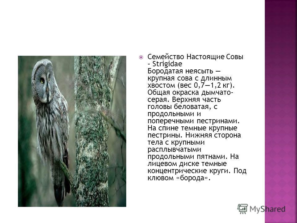 Семейство Настоящие Совы – Strigidae Бородатая неясыть крупная сова с длинным хвостом (вес 0,71,2 кг). Общая окраска дымчато- серая. Верхняя часть головы беловатая, с продольными и поперечными пестринами. На спине темные крупные пестрины. Нижняя стор