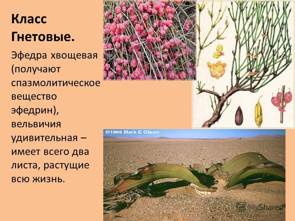 Класс Гнетовые. Эфедра хвощевая (получают спазмолитическое вещество эфедрин), вельвичия удивительная – имеет всего два листа, растущие всю жизнь.