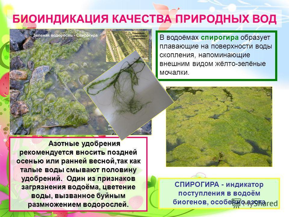СПИРОГИРА - индикатор поступления в водоём биогенов, особенно азота Азотные удобрения рекомендуется вносить поздней осенью или ранней весной,так как талые воды смывают половину удобрений. Один из признаков загрязнения водоёма, цветение воды, вызванно