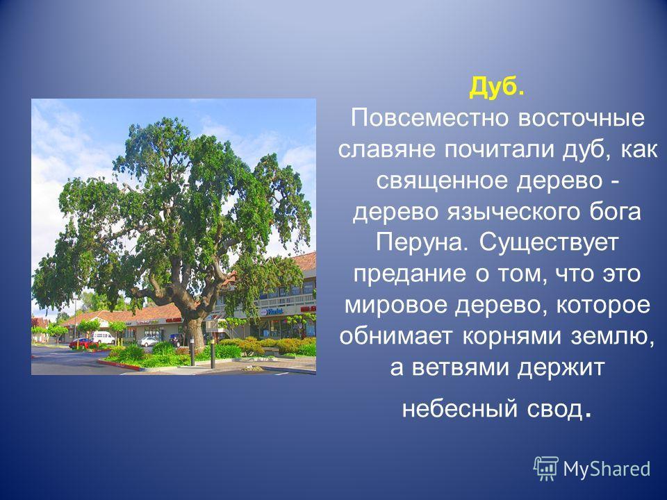 Дуб. Повсеместно восточные славяне почитали дуб, как священное дерево - дерево языческого бога Перуна. Существует предание о том, что это мировое дерево, которое обнимает корнями землю, а ветвями держит небесный свод.