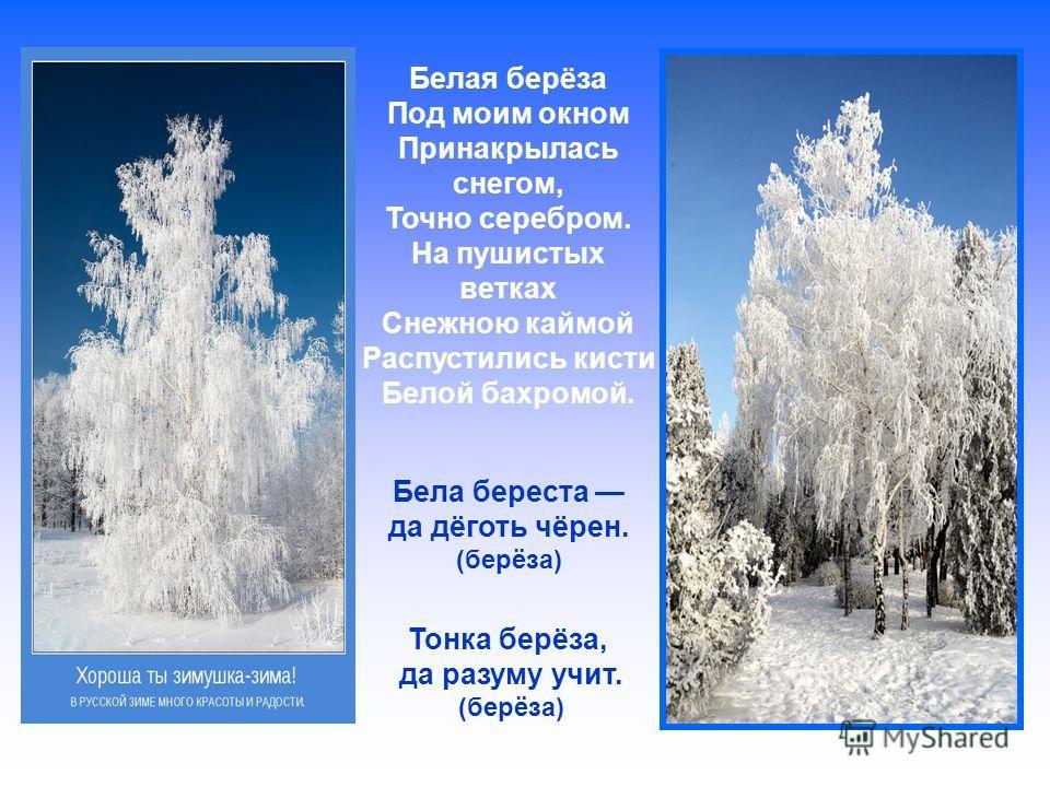 Белая берёза Под моим окном Принакрылась снегом, Точно серебром. На пушистых ветках Снежною каймой Распустились кисти Белой бахромой. Бела береста да дёготь чёрен. (берёза) Тонка берёза, да разуму учит. (берёза)