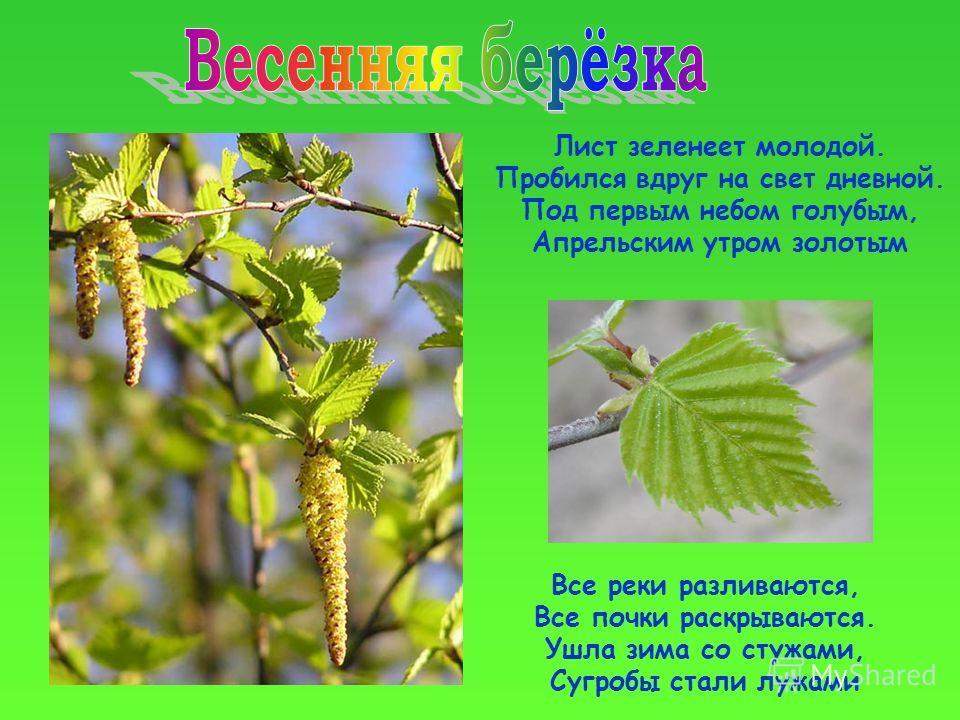 Лист зеленеет молодой. Пробился вдруг на свет дневной. Под первым небом голубым, Апрельским утром золотым Все реки разливаются, Все почки раскрываются. Ушла зима со стужами, Сугробы стали лужами