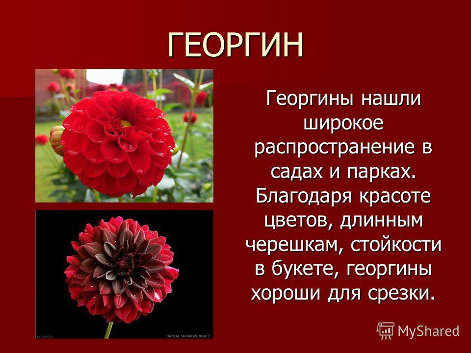 ГЕОРГИН Георгины нашли широкое распространение в садах и парках. Благодаря красоте цветов, длинным черешкам, стойкости в букете, георгины хороши для срезки.