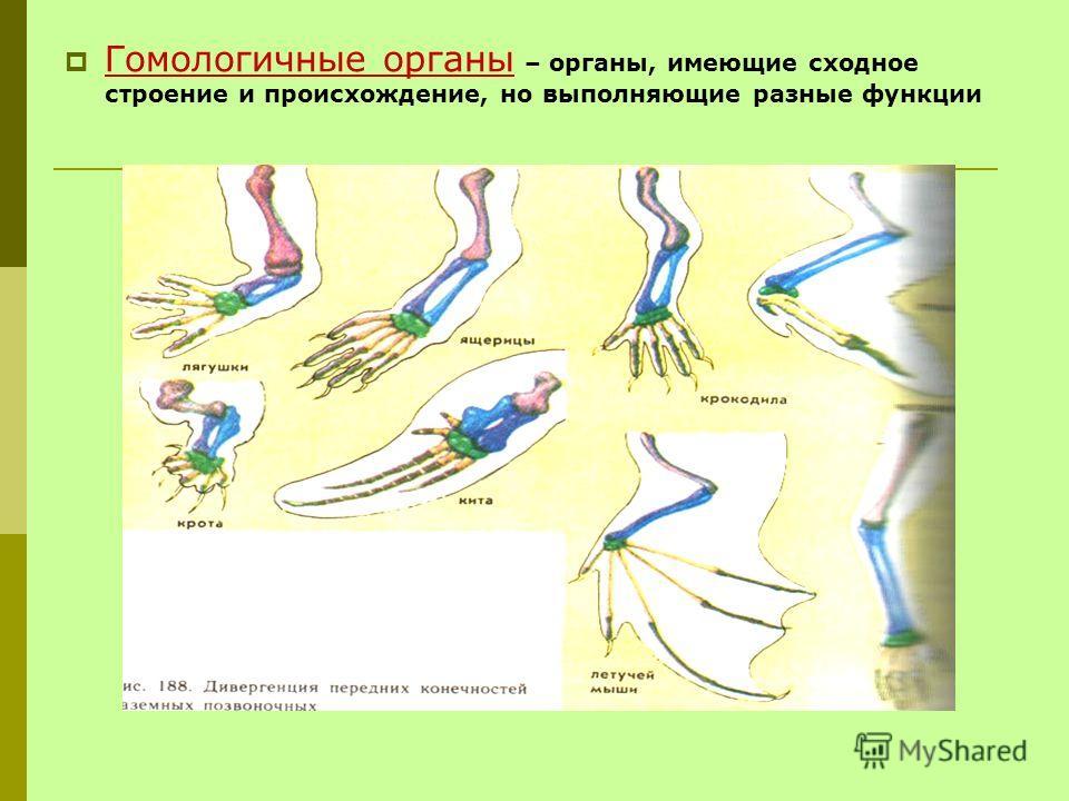 Гомологичные органы – органы, имеющие сходное строение и происхождение, но выполняющие разные функции
