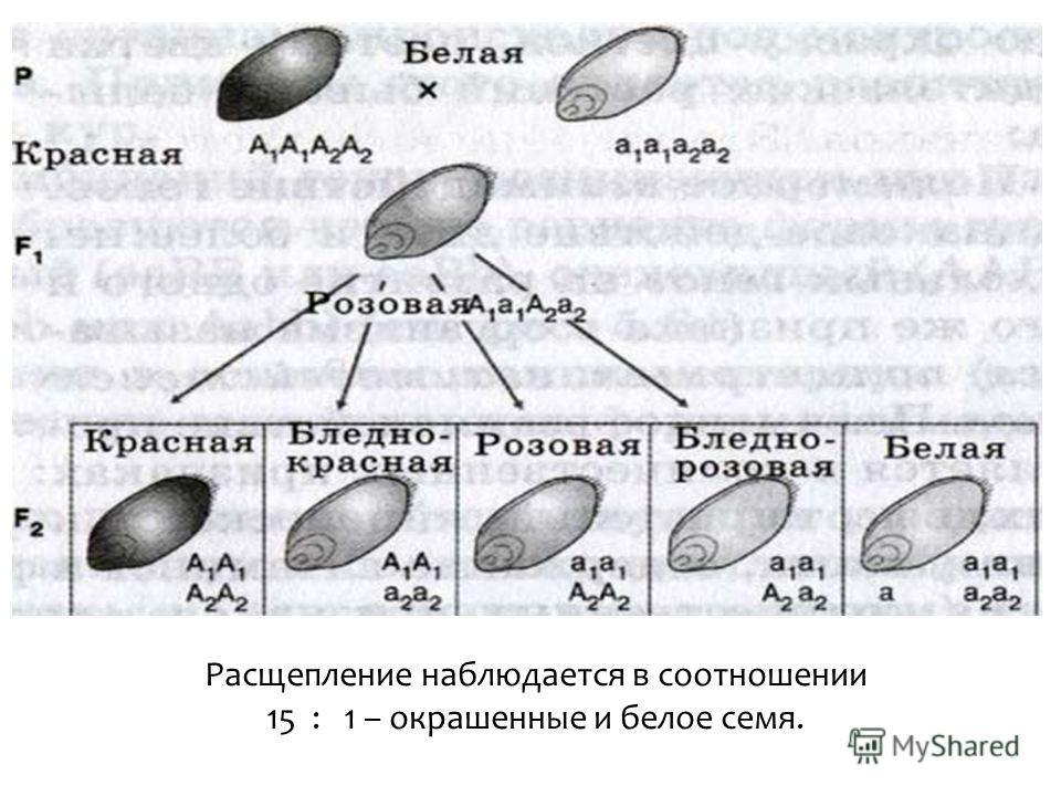 Расщепление наблюдается в соотношении 15 : 1 – окрашенные и белое семя.