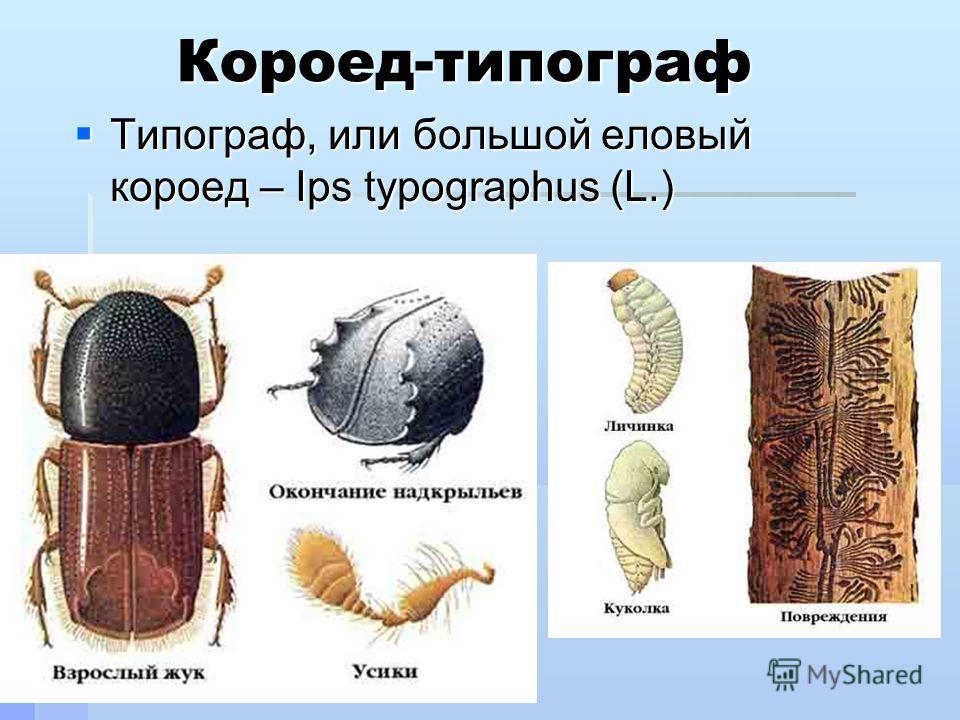 Короед-типограф Типограф, или большой еловый короед – Ips typographus (L.) Типограф, или большой еловый короед – Ips typographus (L.)