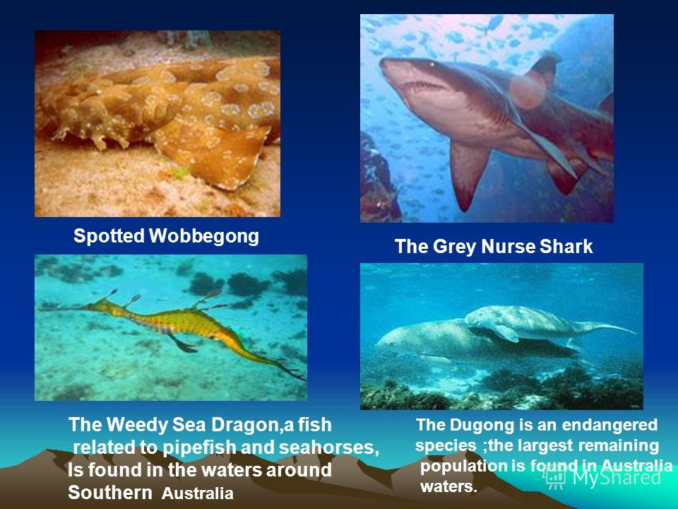 Spotted Wobbegong The Grey Nurse Shark The Weedy Sea Dragon,a fish related to pipefish and seahorses, Is found in the waters around Southern Australia The Dugong is an endangered species ;the largest remaining population is found in Australia waters.