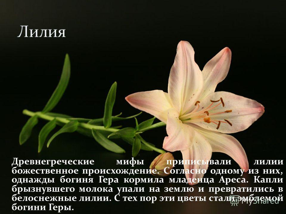 Древнегреческие мифы приписывали лилии божественное происхождение. Согласно одному из них, однажды богиня Гера кормила младенца Ареса. Капли брызнувшего молока упали на землю и превратились в белоснежные лилии. С тех пор эти цветы стали эмблемой боги