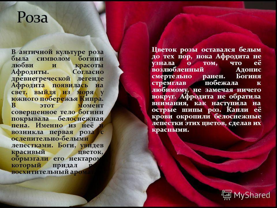 В античной культуре роза была символом богини любви и красоты Афродиты. Согласно древнегреческой легенде Афродита появилась на свет, выйдя из моря у южного побережья Кипра. В этот момент совершенное тело богини покрывала белоснежная пена. Именно из н