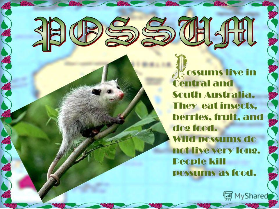 ossums live in Central and South Australia. They eat insects, berries, fruit, and dog food. Wild possums do not live very long. People kill possums as food.