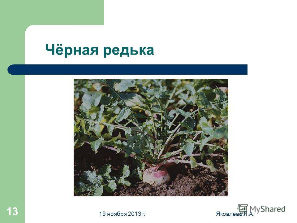 19 ноября 2013 г.Яковлева Л.А. 13 Чёрная редька