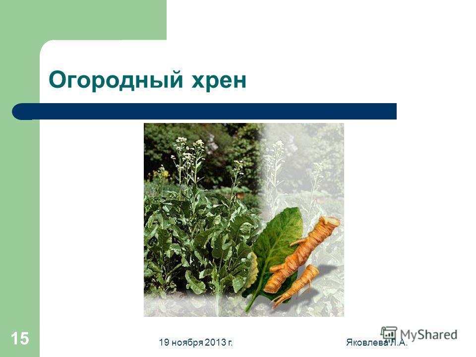 19 ноября 2013 г.Яковлева Л.А. 15 Огородный хрен
