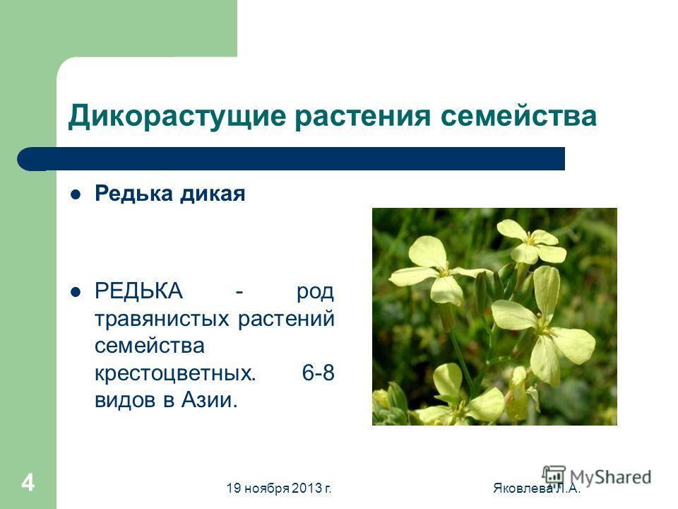 19 ноября 2013 г.Яковлева Л.А. 4 Дикорастущие растения семейства Редька дикая РЕДЬКА - род травянистых растений семейства крестоцветных. 6-8 видов в Азии.