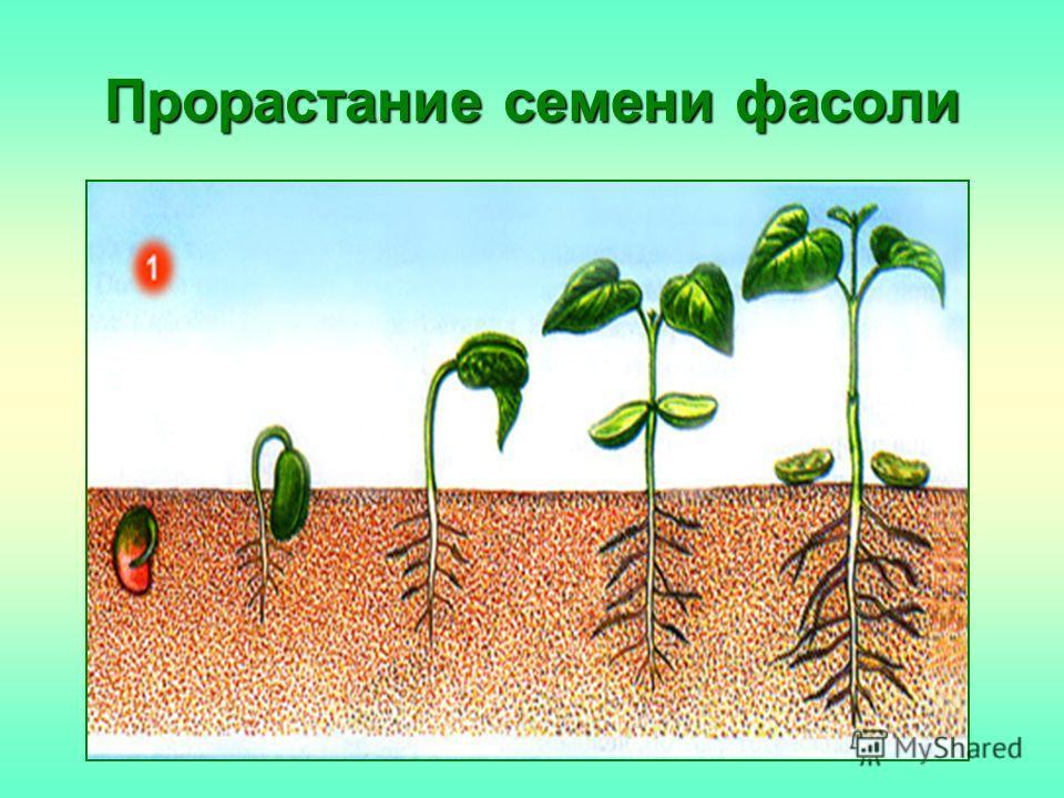 Прорастание семени фасоли