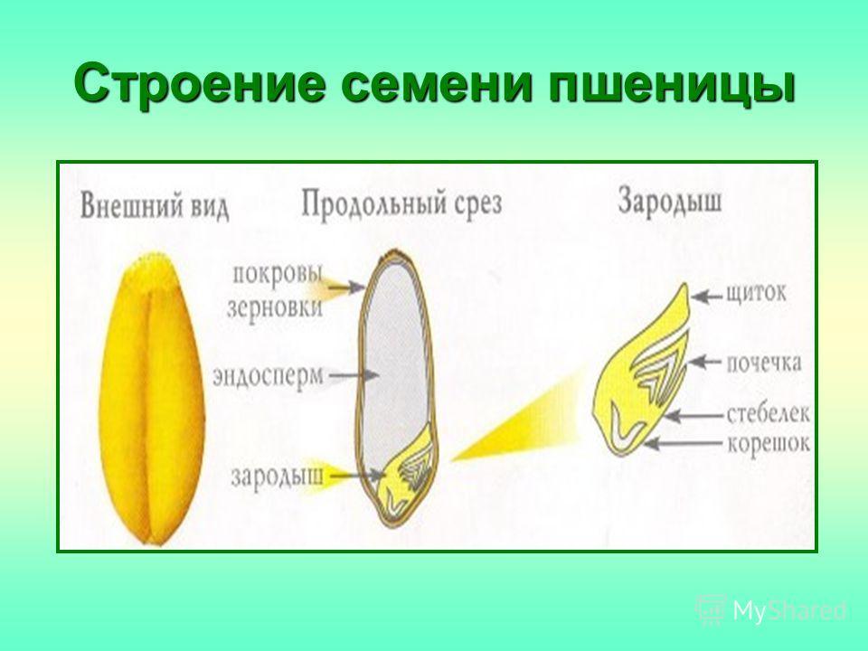 Строение семени пшеницы