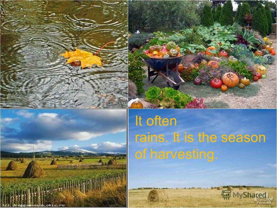 It often rains. It is the season of harvesting.