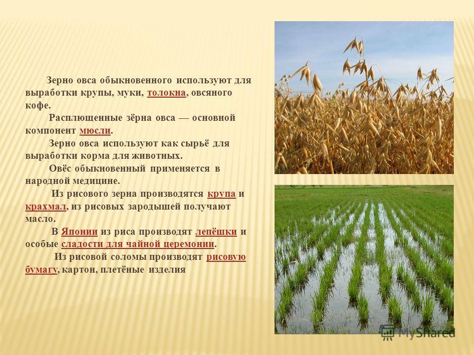 Зерно овса обыкновенного используют для выработки крупы, муки, толокна, овсяного кофе. Расплющенные зёрна овса основной компонент мюсли. Зерно овса используют как сырьё для выработки корма для животных. Овёс обыкновенный применяется в народной медици