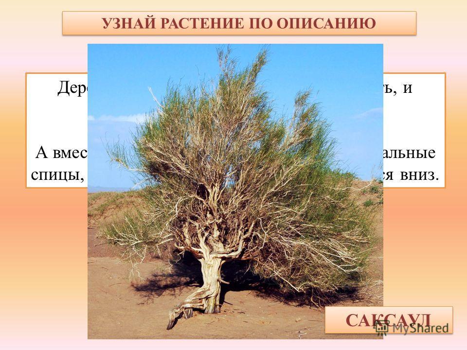 УЗНАЙ РАСТЕНИЕ ПО ОПИСАНИЮ Дерево пустыни – ствол крепкий, как кость, и тяжёлый, как камень. Сучья кручёные-перекручёные. А вместо листьев – длинные, тонкие, как вязальные спицы, зелёные веточки, которые свешиваются вниз. САКСАУЛ