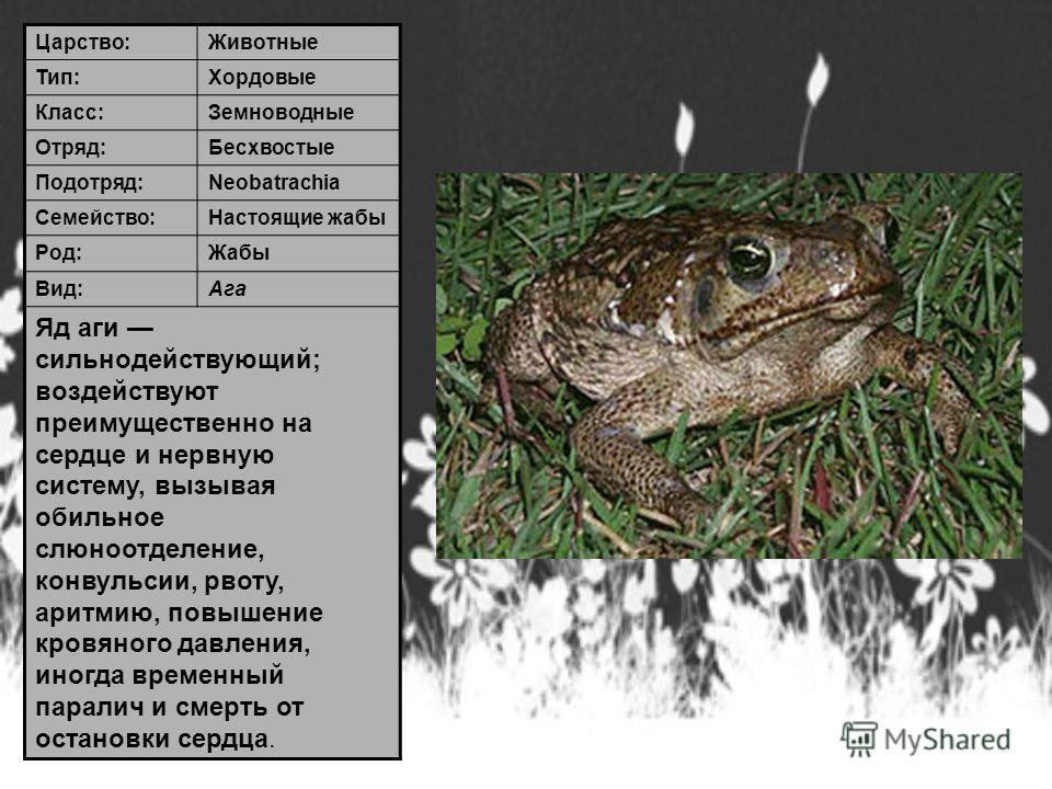 Царство:Животные Тип:Хордовые Класс:Земноводные Отряд:Бесхвостые Подотряд:Neobatrachia Семейство:Настоящие жабы Род:Жабы Вид:Ага Яд аги сильнодействующий; воздействуют преимущественно на сердце и нервную систему, вызывая обильное слюноотделение, конв