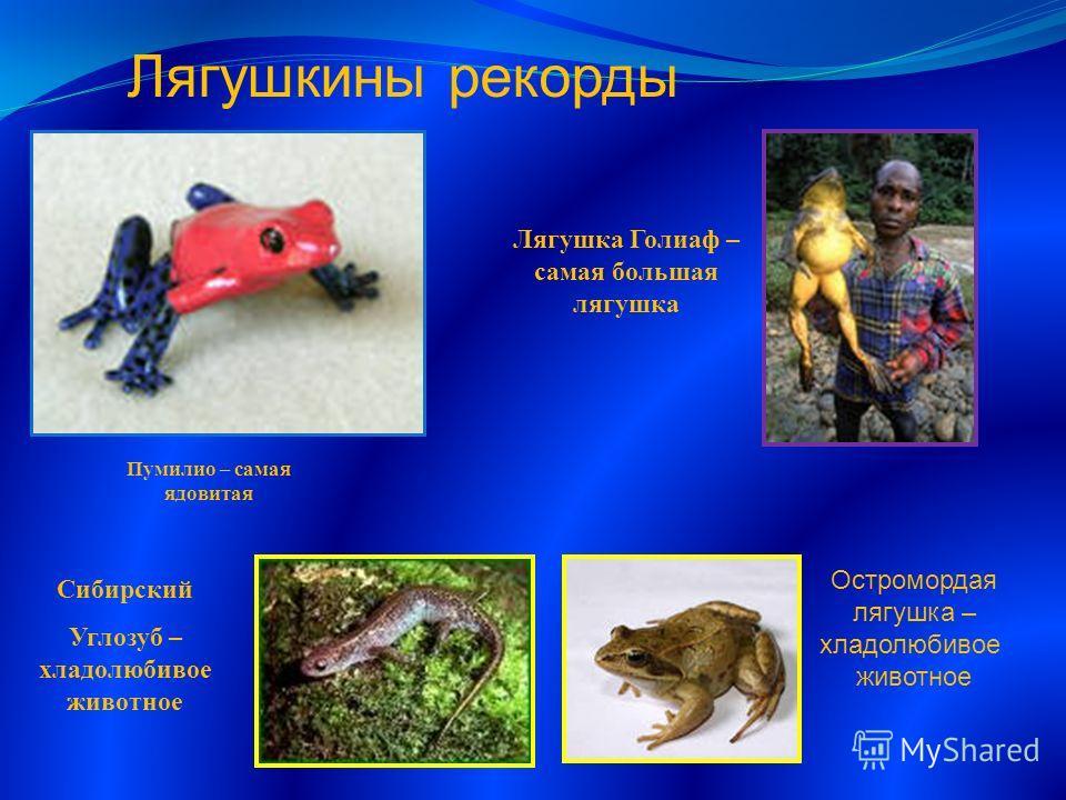 Лягушка Голиаф – самая большая лягушка Пумилио – самая ядовитая Сибирский Углозуб – хладолюбивое животное Лягушкины рекорды Остромордая лягушка – хладолюбивое животное