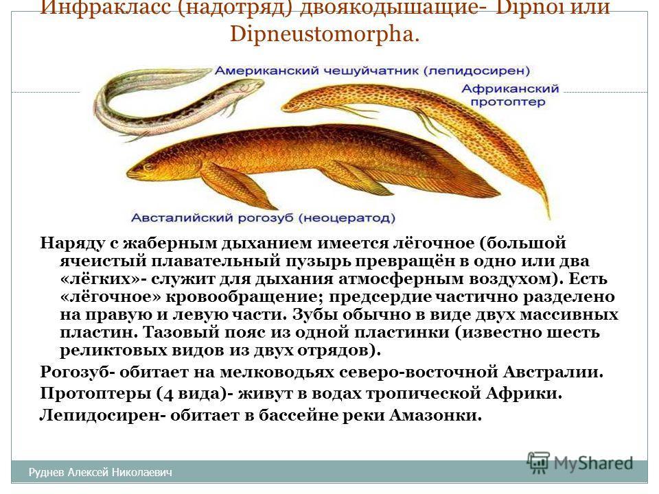 Инфракласс (надотряд) двоякодышащие- Dipnoi или Dipneustomorpha. Наряду с жаберным дыханием имеется лёгочное (большой ячеистый плавательный пузырь превращён в одно или два «лёгких»- служит для дыхания атмосферным воздухом). Есть «лёгочное» кровообращ