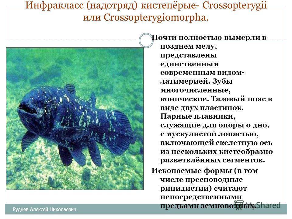 Инфракласс (надотряд) кистепёрые- Crossopterygii или Crossopterygiomorpha. Почти полностью вымерли в позднем мелу, представлены единственным современным видом- латимерией. Зубы многочисленные, конические. Тазовый пояс в виде двух пластинок. Парные пл