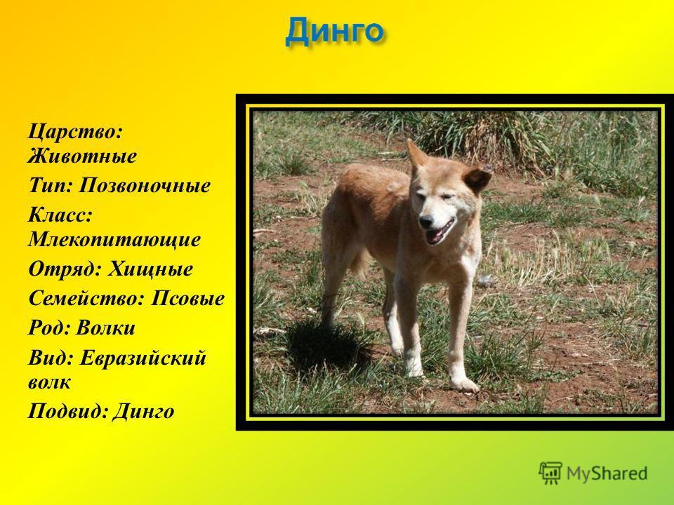 Царство : Животные Тип : Позвоночные Класс : Млекопитающие Отряд : Хищные Семейство : Псовые Род : Волки Вид : Евразийский волк Подвид : Динго