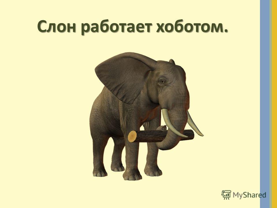 Слон работает хоботом.