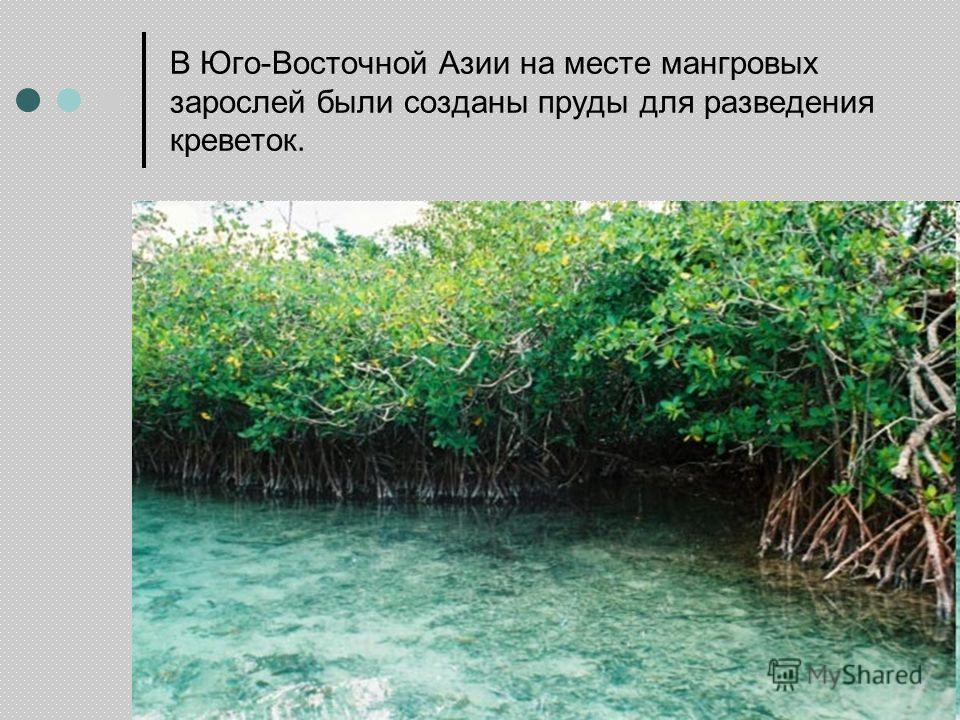 В Юго-Восточной Азии на месте мангровых зарослей были созданы пруды для разведения креветок.