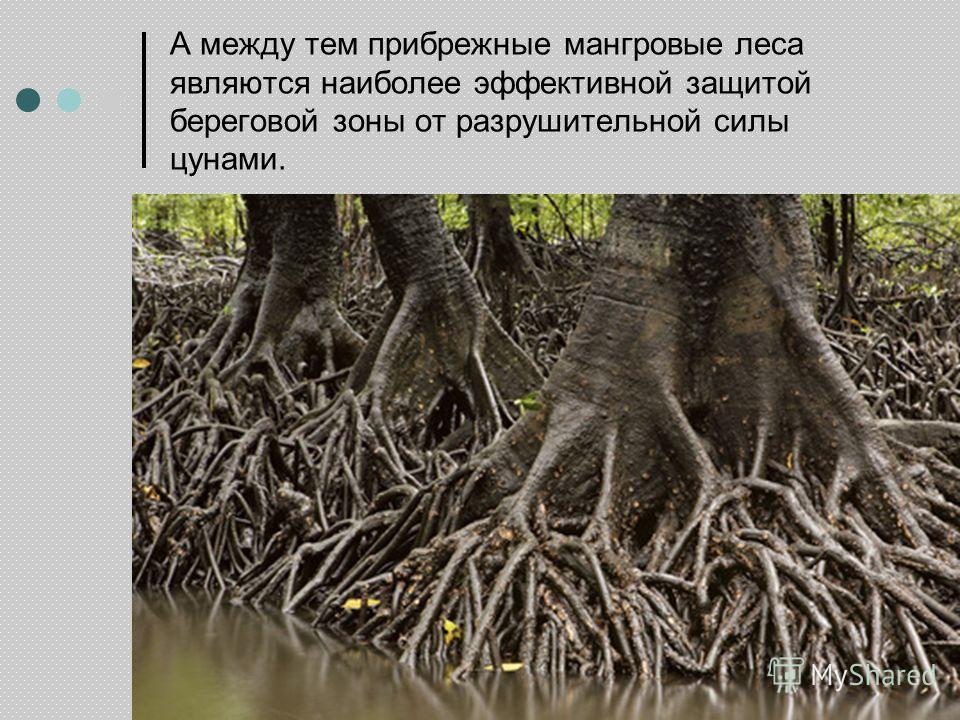 А между тем прибрежные мангровые леса являются наиболее эффективной защитой береговой зоны от разрушительной силы цунами.