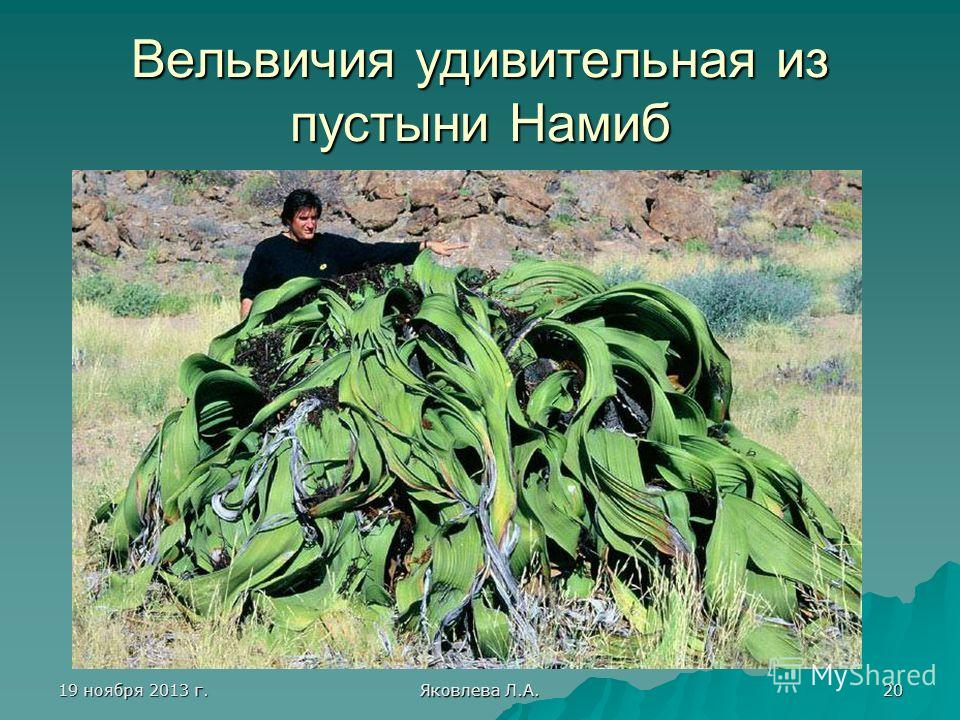 19 ноября 2013 г.19 ноября 2013 г.19 ноября 2013 г.19 ноября 2013 г. Яковлева Л.А. 20 Вельвичия удивительная из пустыни Намиб