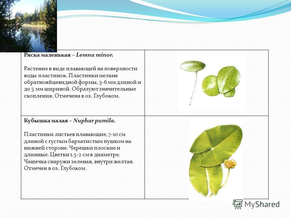 Ряска маленькая – Lemna minor. Растение в виде плавающей на поверхности воды пластинок. Пластинки мелкие обратнояйцевидной формы, 3-6 мм длиной и до 5 мм шириной. Образуют значительные скопления. Отмечена в оз. Глубоком. Кубышка малая – Nuphar pumila