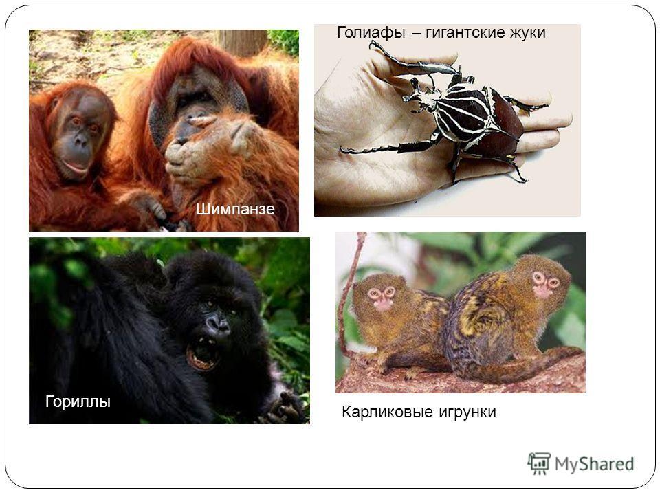 Голиафы – гигантские жуки Гориллы Шимпанзе Карликовые игрунки